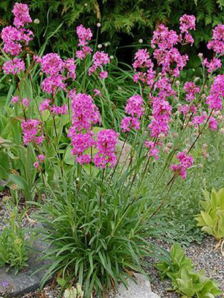 Lychnis viscaria 'Splendens'
