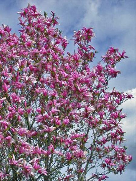 Magnolia à fleurs de lis 'Nigra'
