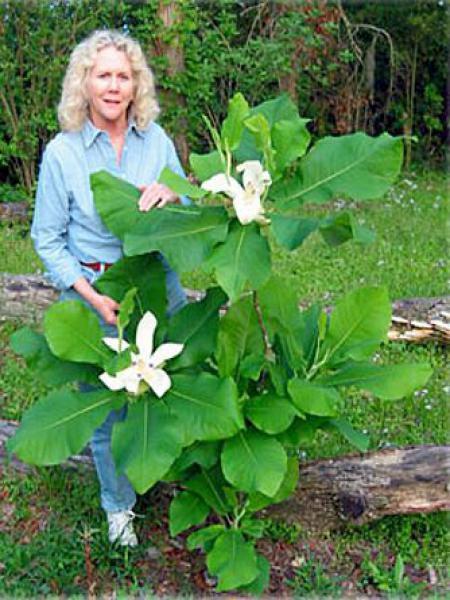 Magnolia à grandes feuilles 'Ashei'