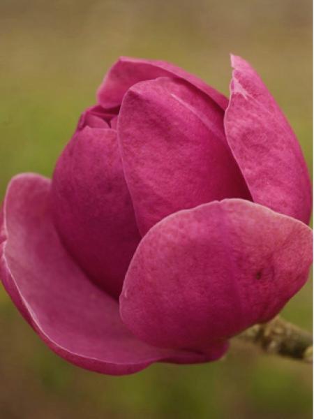 Magnolia 'Beugnon'