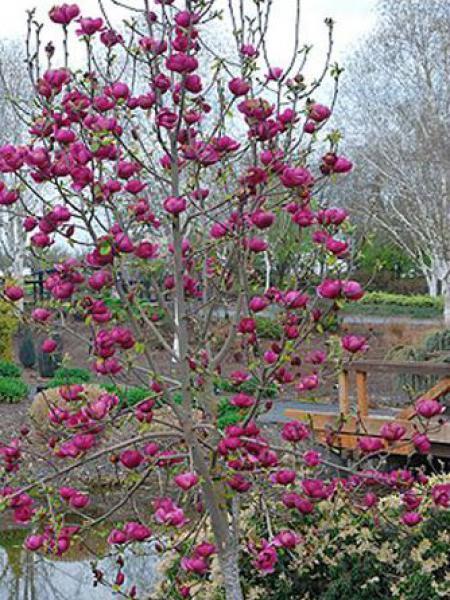 Magnolia 'Black Tulip'