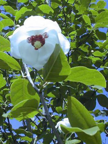 Magnolia de Siebold