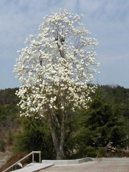 Magnolia dénudé