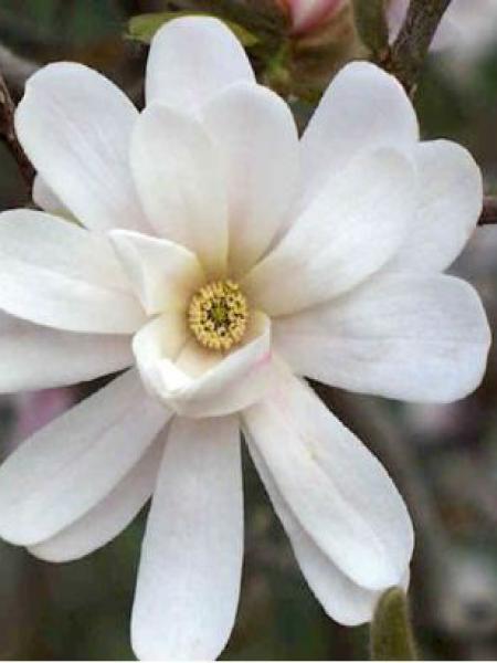 Magnolia étoilé