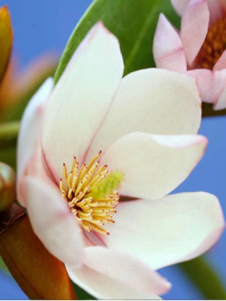 Magnolia 'Fairy Blush'® -Michelia-