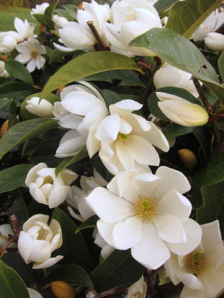 Magnolia 'Fairy Cream'® -Michelia-