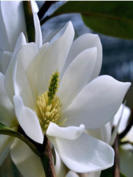 Magnolia 'Fairy White'® -Michelia-