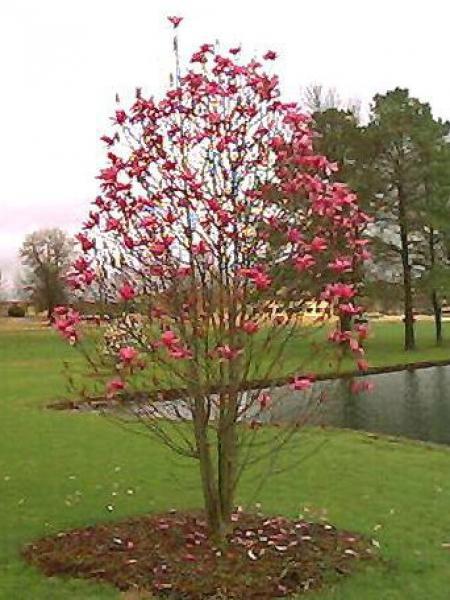 Magnolia  'Galaxy'