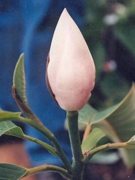 Magnolia 'Summer Snowflake'