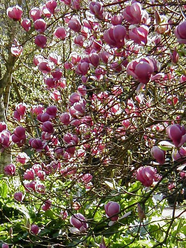 Magnolia x soulangiana 'Lennei'