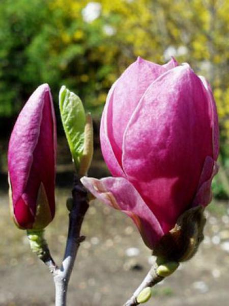 Magnolia x soulangiana 'Rustica Rubra'