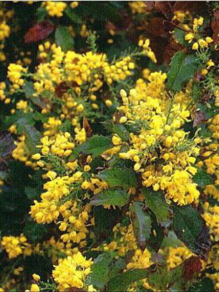Mahonia à feuilles de houx 'Apollo'