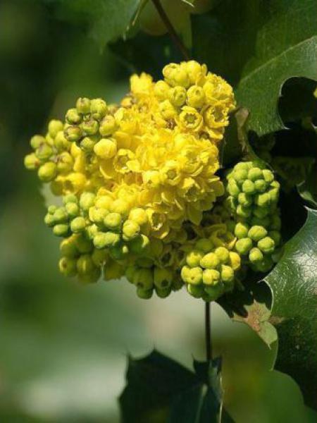 Mahonia à feuilles de houx