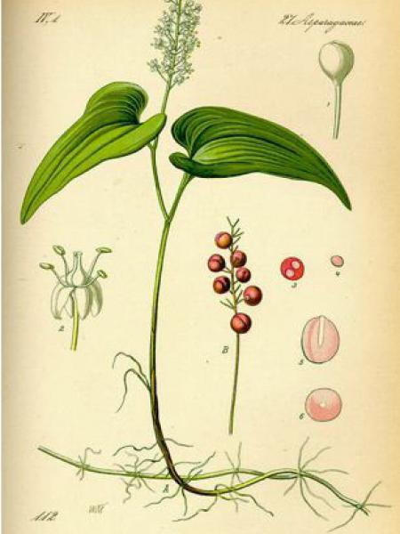 Maïanthème, Petit muguet, Fleur de mai