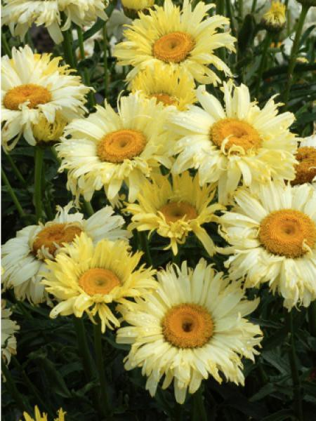 Marguerite 'Goldfinch'