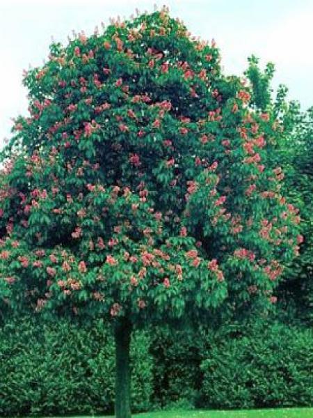 Marronnier à fleurs rouges 'Briotii'