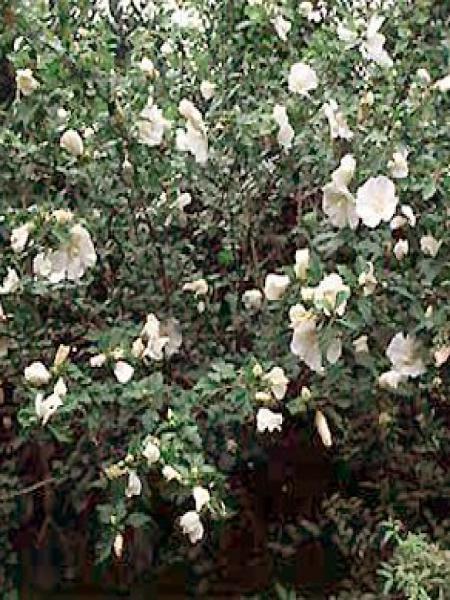 Mauve en arbre 'Diana'