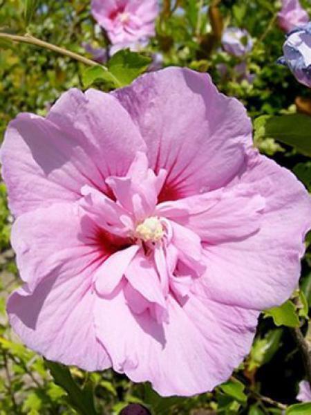 Mauve en arbre 'Lavender Chiffon'®
