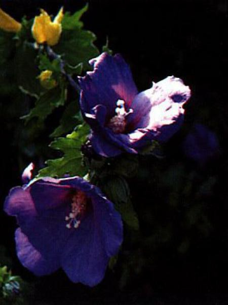 Mauve en arbre 'Oiseau Bleu'