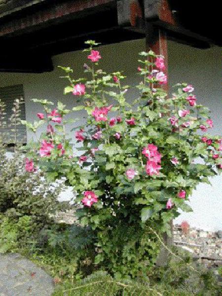 Mauve en arbre Pink Giant® 'Flogi'