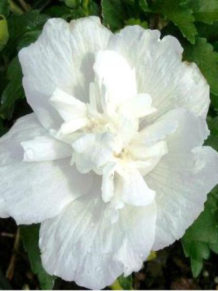Mauve en arbre 'White Chiffon'