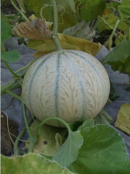 Melon 'Stellio'