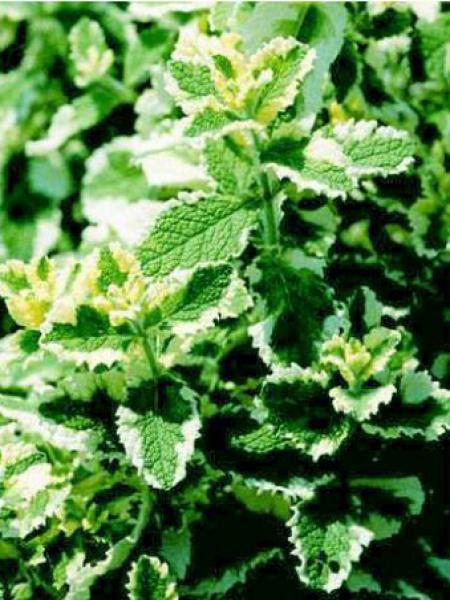 Menthe à feuilles rondes 'Variegata'