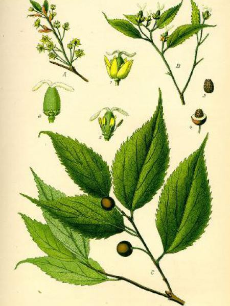 Micocoulier de Provence