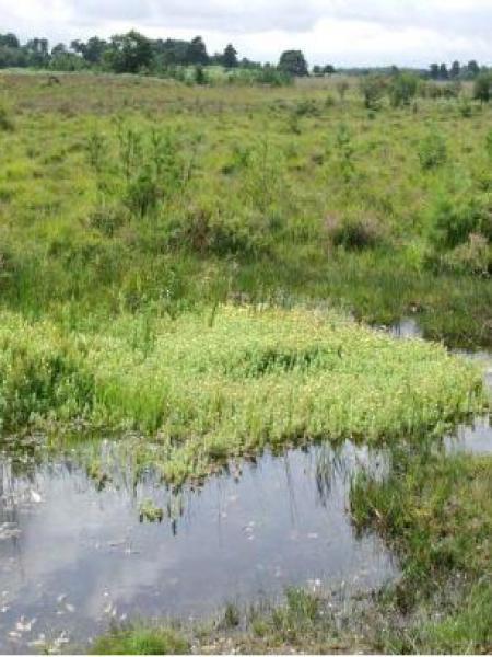 Millepertuis des marais