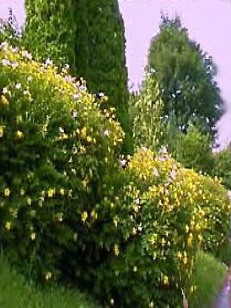 Millepertuis 'Hidcote'