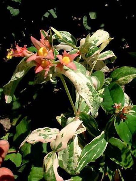 Millepertuis moserianum 'Tricolor'
