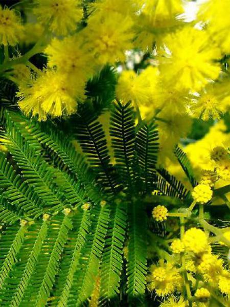 Mimosa d'hiver