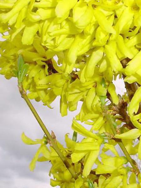 Mimosa de Paris 'Spring Glory'