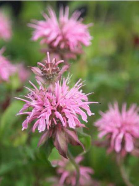 Monarde 'Croftway Pink'