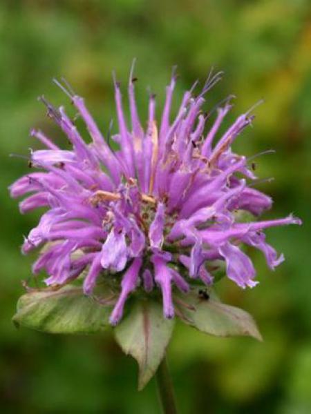 Monarde 'Menthifolia'
