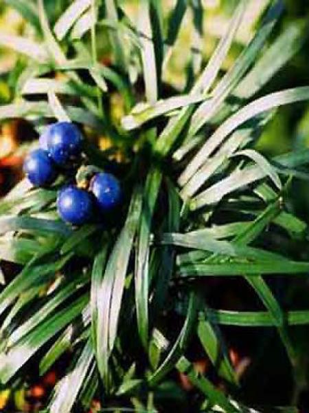 muguet du japon ophiopogon japonicus le jardin du pic vert. Black Bedroom Furniture Sets. Home Design Ideas