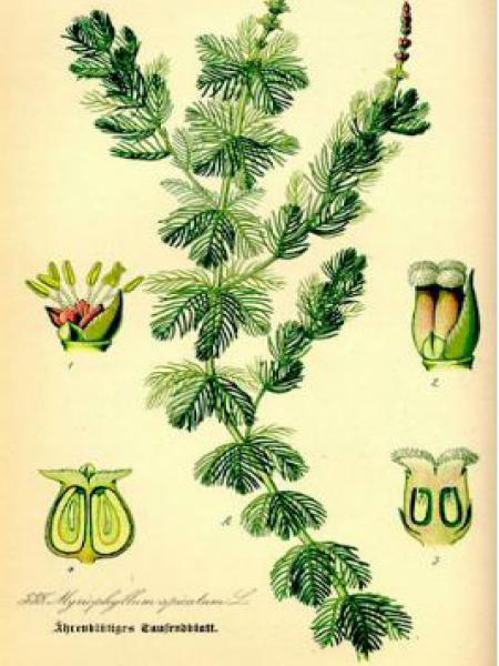 Myriophylle en épis