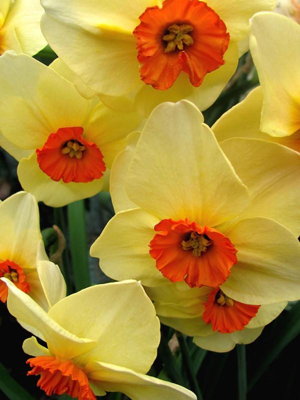 Narcisse à couronne 'Altruist'