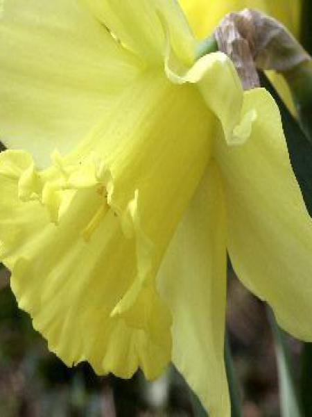 Narcisse à couronne 'Carlton'