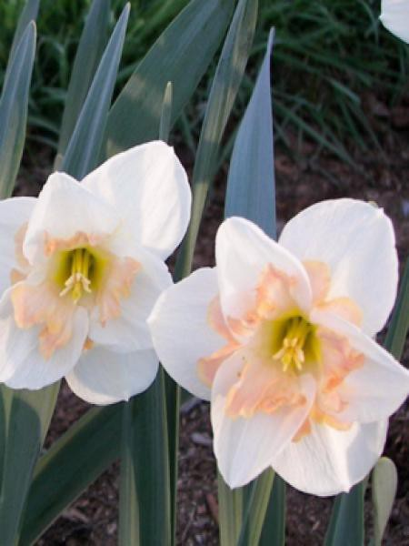 Narcisse à couronne 'Changing Colors'