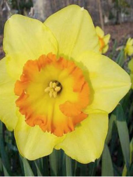 Narcisse à couronne 'Delibes'