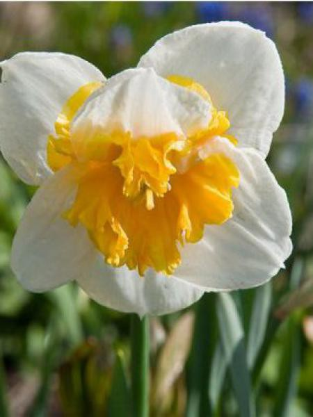 Narcisse à couronne 'Love Call'