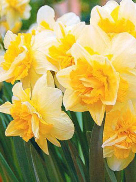 Narcisse à couronne 'Safina'