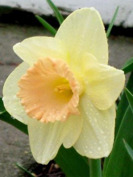 Narcisse à couronne 'Sagitta'