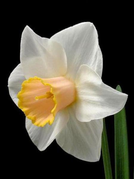 Narcisse à couronne 'Salomé'