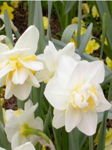 Narcisse à fleurs doubles 'White Lion'