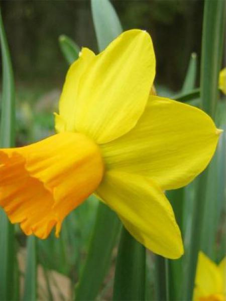 Narcisse cyclamineus 'Jetfire'