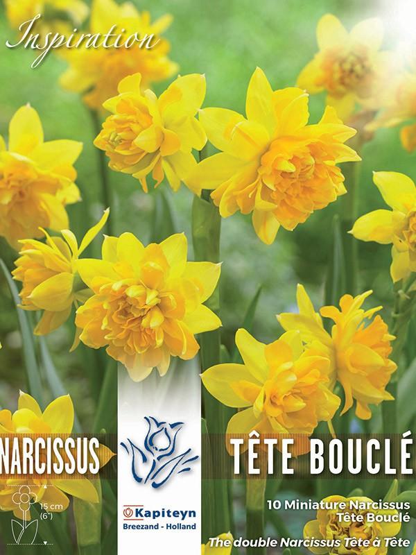 Narcisse 'Tête blouclé'