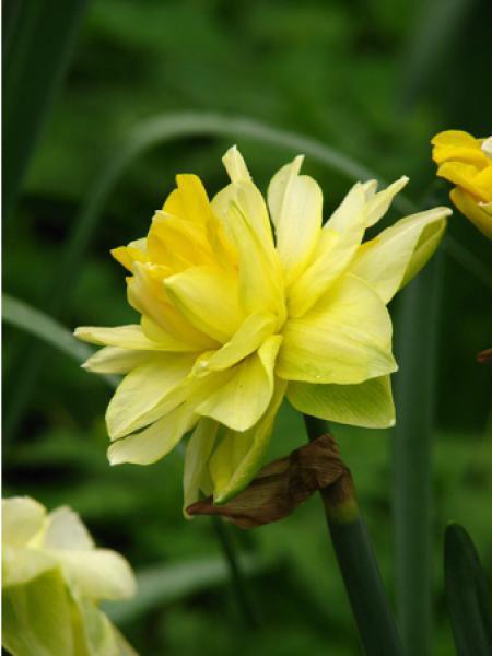 Narcisse 'Golden Ducat'