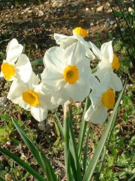 Narcisse poetaz 'Géranium'